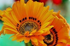 Λουλούδι με τα κίτρινα πέταλα και ένα διακριτικό μαύρο κέντρο Στοκ φωτογραφία με δικαίωμα ελεύθερης χρήσης