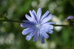 Λουλούδι με τα μπλε πέταλα και τα μακροχρόνια stamens Στοκ Εικόνες