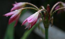 Λουλούδι με την πτώση του νερού Στοκ Εικόνα