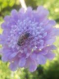 Λουλούδι με τη μέλισσα Στοκ φωτογραφίες με δικαίωμα ελεύθερης χρήσης