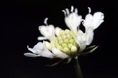 Λουλούδι με τη μαύρη κινηματογράφηση σε πρώτο πλάνο υποβάθρου Στοκ Εικόνα