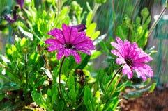 Λουλούδι με τις πτώσεις Στοκ φωτογραφίες με δικαίωμα ελεύθερης χρήσης
