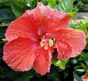 Λουλούδι με τις σταγόνες βροχής Στοκ Εικόνες