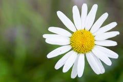 Λουλούδι με το άσπρο κίτρινο άνθος Στοκ Εικόνα