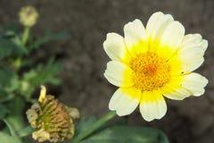 Λουλούδι με το ανοικτό κίτρινο άνθος Στοκ φωτογραφία με δικαίωμα ελεύθερης χρήσης