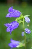 Λουλούδι με το ιώδες άνθος κουδουνιών Στοκ φωτογραφία με δικαίωμα ελεύθερης χρήσης