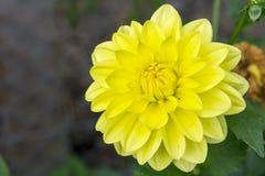 Λουλούδι με το κίτρινο άνθος Στοκ φωτογραφία με δικαίωμα ελεύθερης χρήσης