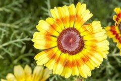 Λουλούδι με το κίτρινο πορτοκαλί άνθος Στοκ φωτογραφίες με δικαίωμα ελεύθερης χρήσης