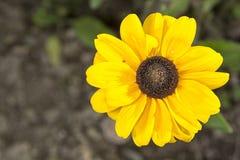 Λουλούδι με το καφετί κίτρινο άνθος Στοκ φωτογραφία με δικαίωμα ελεύθερης χρήσης
