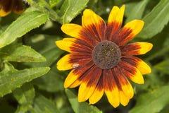 Λουλούδι με το καφετί κίτρινο άνθος Στοκ εικόνες με δικαίωμα ελεύθερης χρήσης