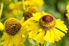 Λουλούδι με το καφετί κίτρινο άνθος Στοκ εικόνα με δικαίωμα ελεύθερης χρήσης