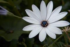 Λουλούδι με το μπλε κέντρο Στοκ Φωτογραφία