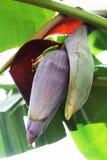 Λουλούδι μπανανών, εδώδιμο λουλούδι. Στοκ Εικόνα