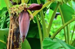 Λουλούδι μπανανών και νέα μπανάνα Στοκ φωτογραφία με δικαίωμα ελεύθερης χρήσης