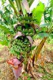 Λουλούδι μπανανών Στοκ Εικόνες