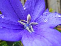 Λουλούδι μπαλονιών Στοκ Φωτογραφίες