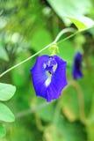 Λουλούδι μπιζελιών πεταλούδων με το φύλλο Στοκ φωτογραφία με δικαίωμα ελεύθερης χρήσης