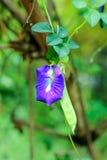 Λουλούδι μπιζελιών πεταλούδων με το φύλλο Στοκ Εικόνες