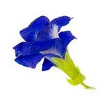 Λουλούδι μπιζελιών πεταλούδων, λουλούδι μπιζελιών πεταλούδων στο άσπρο υπόβαθρο Στοκ Εικόνες