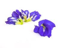 Λουλούδι μπιζελιών πεταλούδων που απομονώνεται Στοκ φωτογραφία με δικαίωμα ελεύθερης χρήσης