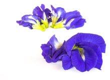 Λουλούδι μπιζελιών πεταλούδων που απομονώνεται Στοκ εικόνα με δικαίωμα ελεύθερης χρήσης