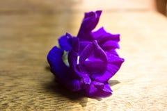 Λουλούδι μπιζελιών πεταλούδων στο ξύλινο υπόβαθρο Στοκ Εικόνα