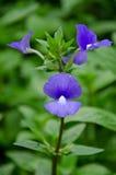 Λουλούδι μπιζελιών πεταλούδων Στοκ εικόνα με δικαίωμα ελεύθερης χρήσης