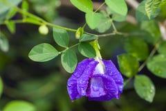Λουλούδι μπιζελιών πεταλούδων Στοκ εικόνες με δικαίωμα ελεύθερης χρήσης