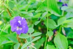 Λουλούδι μπιζελιών πεταλούδων Στοκ φωτογραφία με δικαίωμα ελεύθερης χρήσης