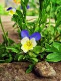Λουλούδι μπλε-καρδιών Στοκ εικόνα με δικαίωμα ελεύθερης χρήσης