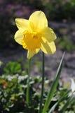 Λουλούδι ναρκίσσων (νάρκισσοι Pseudonarcissus) Στοκ εικόνες με δικαίωμα ελεύθερης χρήσης