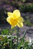 Λουλούδι ναρκίσσων (νάρκισσοι Pseudonarcissus) Στοκ Εικόνες