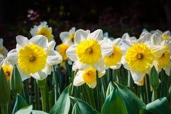 Λουλούδι ναρκίσσων την άνοιξη στοκ εικόνα