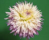 Λουλούδι νταλιών που απομονώνεται στο πράσινο backgrond Στοκ εικόνες με δικαίωμα ελεύθερης χρήσης