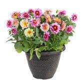 Λουλούδι νταλιών στο δοχείο στοκ φωτογραφίες