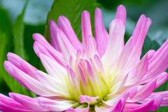 Λουλούδι νταλιών Στοκ Φωτογραφίες