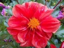 Λουλούδι νταλιών Στοκ Φωτογραφία