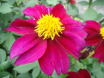 Λουλούδι νταλιών Στοκ Εικόνες
