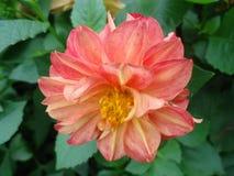 Λουλούδι νταλιών Στοκ Εικόνα
