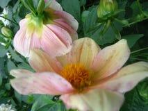 Λουλούδι νταλιών Στοκ εικόνες με δικαίωμα ελεύθερης χρήσης