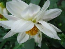 Λουλούδι νταλιών Στοκ φωτογραφία με δικαίωμα ελεύθερης χρήσης