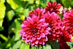 Λουλούδι νταλιών απεικόνιση αποθεμάτων