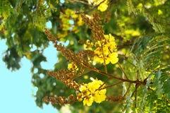 Λουλούδι λοβών χαλκού Στοκ Φωτογραφία