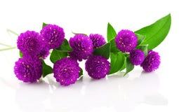 Λουλούδι ομορφιάς αμάραντων σφαιρών στο άσπρο υπόβαθρο Στοκ Φωτογραφία