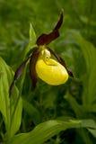 Λουλούδι ορχιδεών παντοφλών Ladys Στοκ Φωτογραφίες