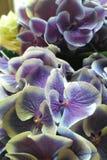 Λουλούδι ορχιδεών Στοκ Εικόνα