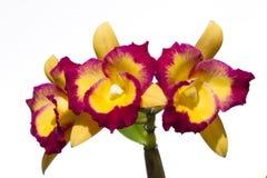 Λουλούδι ορχιδεών Cattleya Στοκ φωτογραφία με δικαίωμα ελεύθερης χρήσης