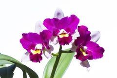 Λουλούδι ορχιδεών Cattleya Στοκ εικόνες με δικαίωμα ελεύθερης χρήσης