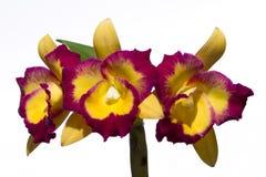 Λουλούδι ορχιδεών Cattleya Στοκ Εικόνες