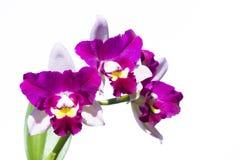 Λουλούδι ορχιδεών Cattleya Στοκ εικόνα με δικαίωμα ελεύθερης χρήσης